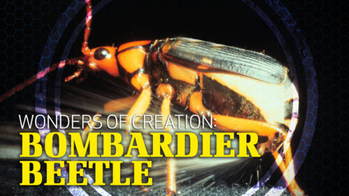 Wonders of Creation: Bombardier Beetle